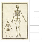 Human and monkey skeletons by T Cole
