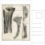 Sections of the Tibia by Faustino Anderloni