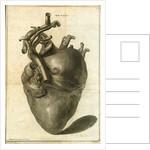 A human heart by Sauerbrey