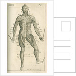 The muscles of the human body (front) by Sutton Nicholls