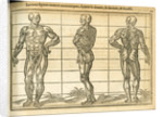 Three anatomical male figures by unknown