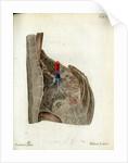 Serous membrane (lungs) by Walwert