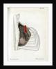 Lungs and pulmonary artery by Walwert
