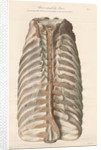 Dissected thorax of a porpoise by Antoine Toussaint de Chazal