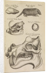A hippopotamus skull in the Royal Society's Repository by Anonymous