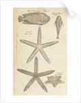 Fish and starfish in the Royal Society's Repository by Anonymous