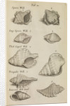 Whelk shells in the Royal Society's Repository by Anonymous