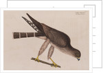 The pigeon-hawk by Mark Catesby
