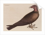 The turkey buzzard by Mark Catesby