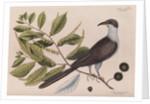 The 'cuckow of Carolina and the chinkapin' by Mark Catesby