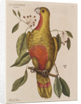 The parrot of paradise of Cuba and the red-wood by Mark Catesby