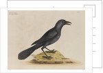 'The purple jack-daw' by Mark Catesby