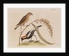 The 'rice-bird' by Mark Catesby