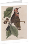The 'gold-winged wood-pecker' and the 'chesnut-oak' by Mark Catesby