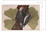 The 'red-bellied wood-pecker', the 'hairy wood-pecker' and the 'black oak' by Mark Catesby