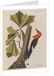 The 'red-headed wood-pecker' and the 'water oak' by Mark Catesby