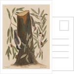The 'nuthatch', the 'small nuthatch' and the 'highland willow oak' by Mark Catesby