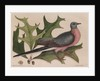 The 'pigeon of passage' and the 'red oak' by Mark Catesby