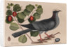 The 'white-crown'd pigeon' and the 'cocoa plum' by Mark Catesby