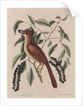 The 'fox coloured thrush' and the 'cluster'd black cherry' by Mark Catesby