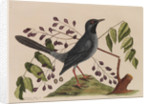 The 'red leg'd thrush' and the 'gum-elimy tree' by Mark Catesby