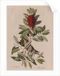 The 'little thrush' and the 'dahoon holly' by Mark Catesby