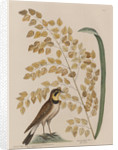 The 'lark' and the 'sea-side oat' by Mark Catesby