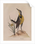 The 'large lark' and the 'little yellow star-flower' by Mark Catesby