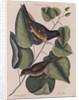 The 'towhe' bird, the 'cowpen' bird and the 'black poplar' of Carolina by Mark Catesby