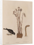 The 'snow-bird' and the 'broom-rape' by Mark Catesby