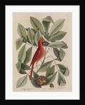 The 'red bird', the 'hiccory tree' and the 'pignut' by Mark Catesby