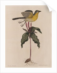 The yellow brested chat and the 'Solanum triphyllon' by Mark Catesby