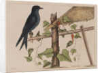 The purple martin and the 'Smilax (forte) lenis' by Mark Catesby