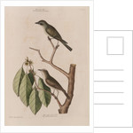 The 'little brown fly-catcher', the 'red ey'd flycatcher' and the 'arbor lauri folio' by Mark Catesby