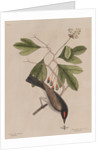 The 'tyrant' and the sassafras by Mark Catesby