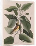 The 'hooded titmouse' and the water-tupelo by Mark Catesby