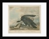 'The Magellanic Vulture, or Condor' by William Skelton