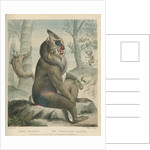 'The Variegated Baboon' [Mandrill] by William Skelton