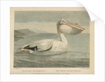 'The Rough-Billed Pelican' by William Skelton