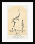 Skeletons of Moa and man by Lyttelton Times