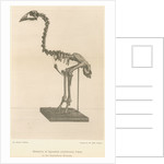 Skeleton of the Adzebill by Easter & Wallis