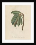 'The Banksia Serrata in Bud' by Frederick Polydor Nodder