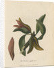 'The Banksia pyriformis' by Frederick Polydor Nodder