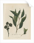 'The Peppermint Tree' [Eucalyptus] by Frederick Polydor Nodder