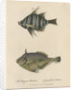Studies of two fishes by Sarah Stone
