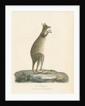 'A Kangaroo' by Charles Catton the younger