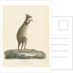 A Kangaroo by Charles Catton the younger