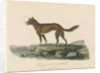 'Dog of New South Wales' by Mortimer
