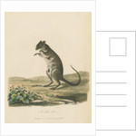 A Poto Roo by Sarah Stone