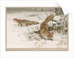 'Common Fox' by Frederick Warne & Company
